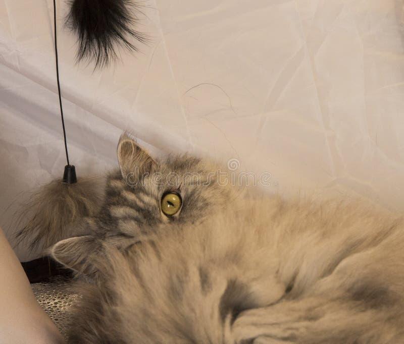 Piękny puszysty Szkocki kot z nową zabawką zdjęcie royalty free