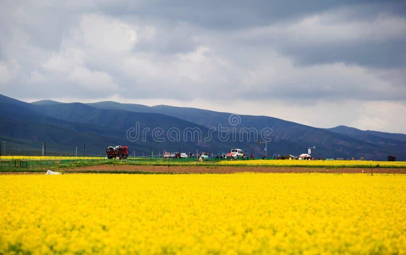 Piękny Qinghai jezioro - staczać się wzgórza i kwitnącego rapeseed kwitnie obrazy royalty free