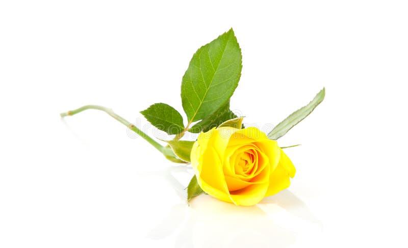 piękny różany kolor żółty zdjęcia stock