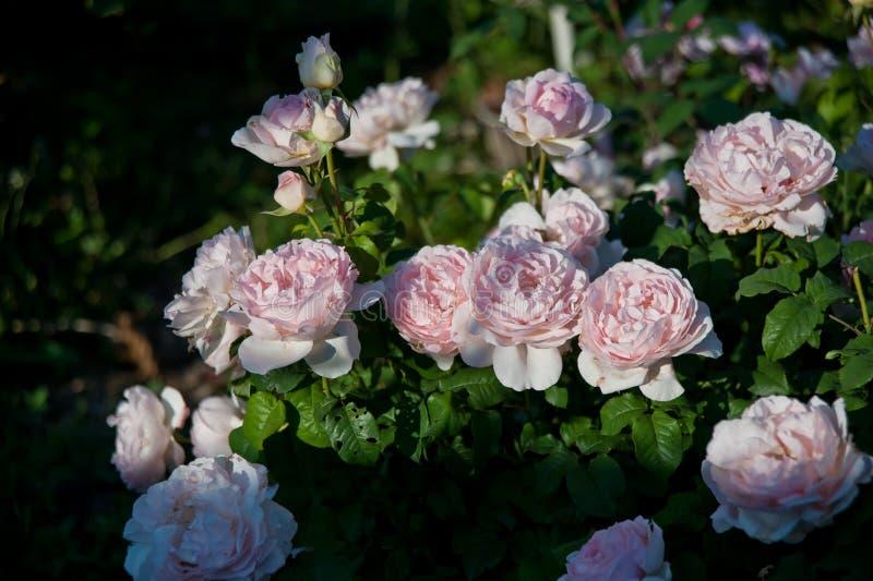 Piękny różany krzak Sharifa Asma obrazy stock