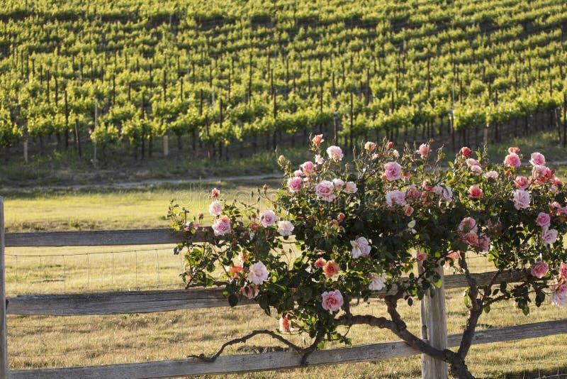 Piękny różany krzak wzdłuż ogrodzenia blisko winnicy obrazy stock