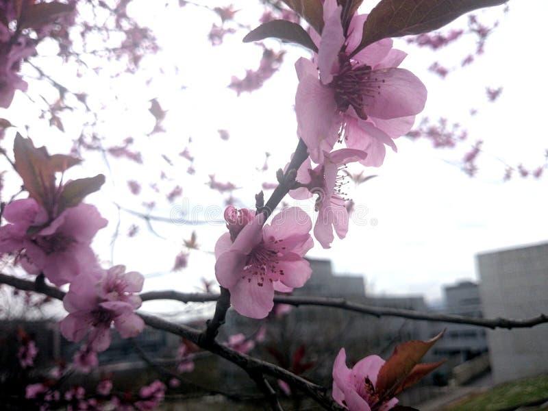 Piękny różowy biały czereśniowy okwitnięcie kwitnie gałąź w ogródzie obraz stock