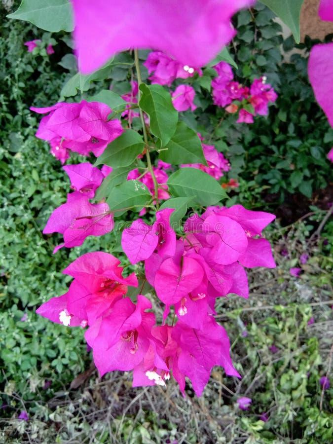 Piękny różowy Bougainville obrazy stock