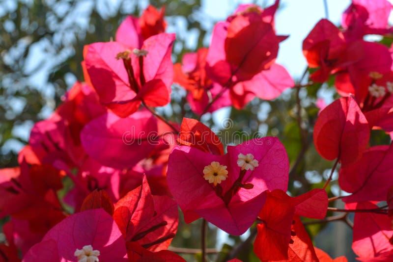 Piękny różowy bougainvillea kwitnie zbliżenie Żywi kolory i zielony liścia tło obrazy royalty free