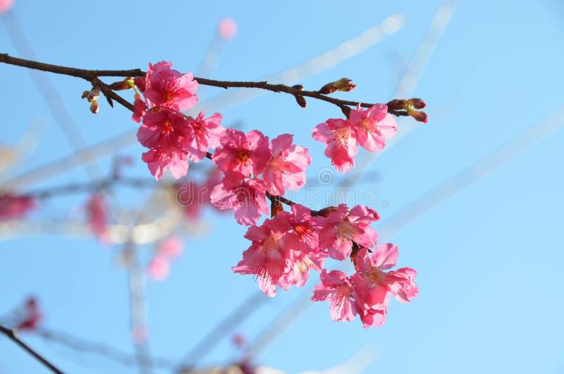 Piękny różowy czereśniowy okwitnięcie lub Sakura przeciw niebieskiego nieba backgro obrazy stock