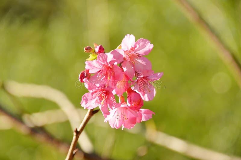 Piękny różowy czereśniowy okwitnięcie lub Sakura przeciw zielonemu bokeh plecy fotografia stock
