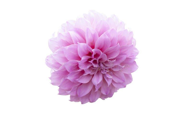 Piękny różowy dalia kwiat odizolowywający na białym tle obrazy royalty free