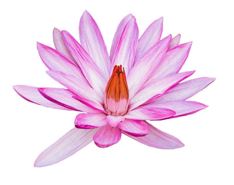 Piękny różowy fioletowy kwiat lilii wodnej lub kwiatu lotosu Nymphaea wyizolowany na białym tle Barwna natura roślin wodnych zdjęcia royalty free