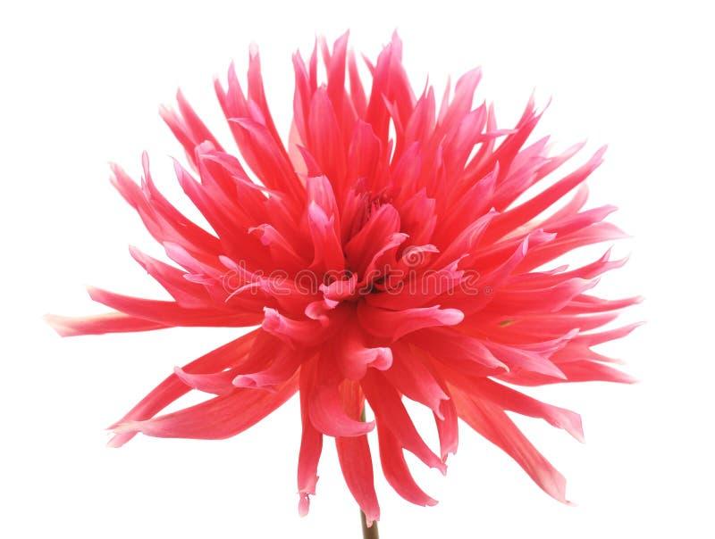Piękny różowy Georgina zdjęcia royalty free