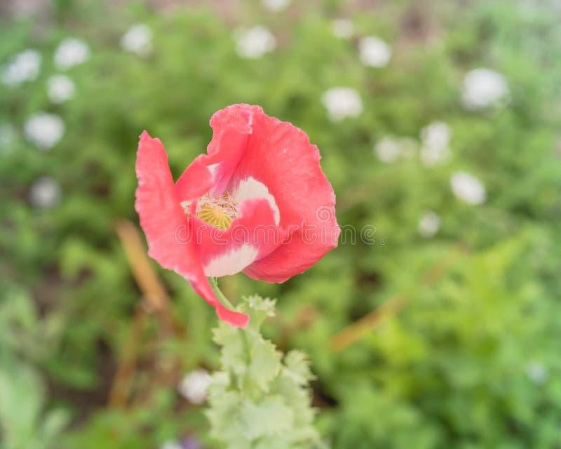PiÄ™kny różowy i biaÅ'y kwiat maku kwitnie w Teksasie, USA zdjęcie stock