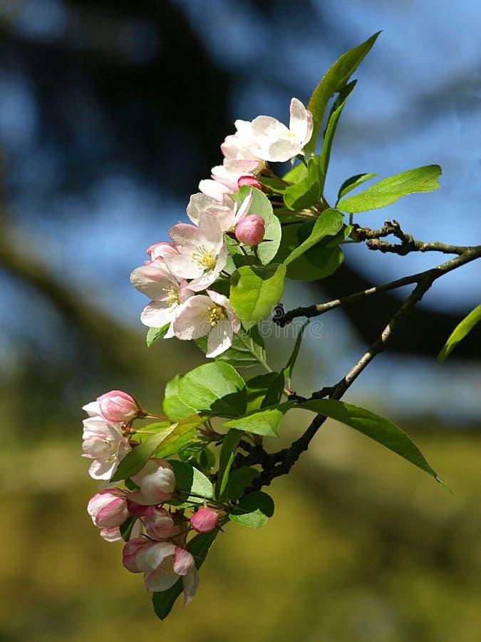 Piękny różowy jabłko kwitnie w wiośnie obrazy stock