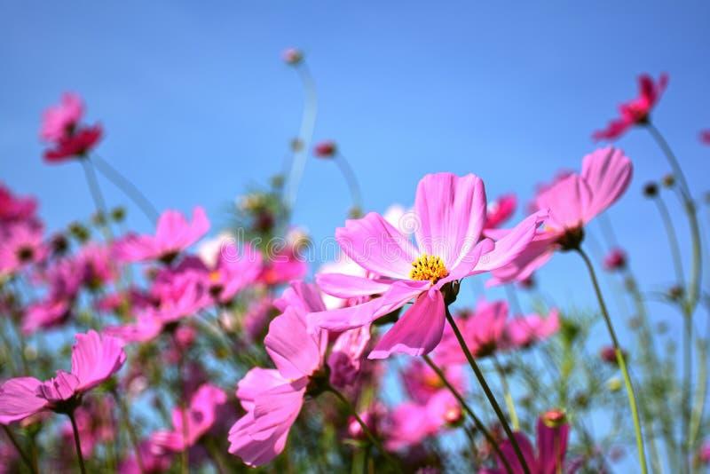 Piękny różowy kosmosów kwiatów pole zdjęcie royalty free