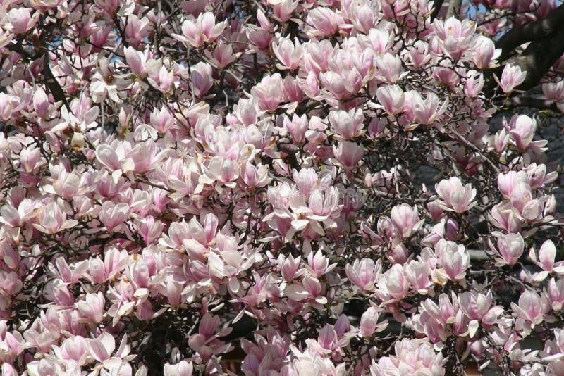 Piękny Różowy Kwiatonośny Tulipanowy drzewo fotografia stock