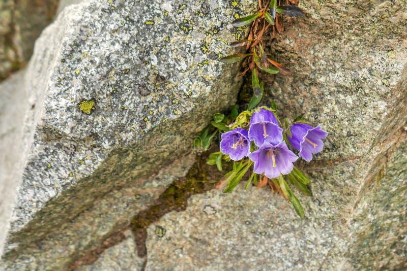 Piękny różowy kwiatu dorośnięcie na halnej skale zdjęcie stock