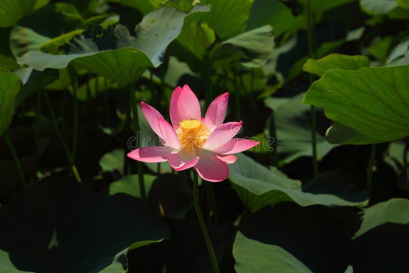Piękny różowy lotos w naturze zdjęcia royalty free