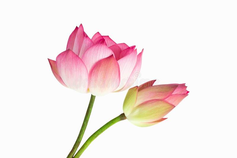 Piękny różowy lotosowego kwiatu bukiet odizolowywający na białym tle zdjęcie stock