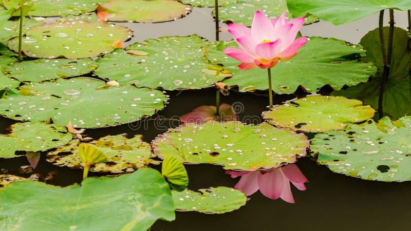 Piękny różowy lotosowy kwiat w stawie obraz stock