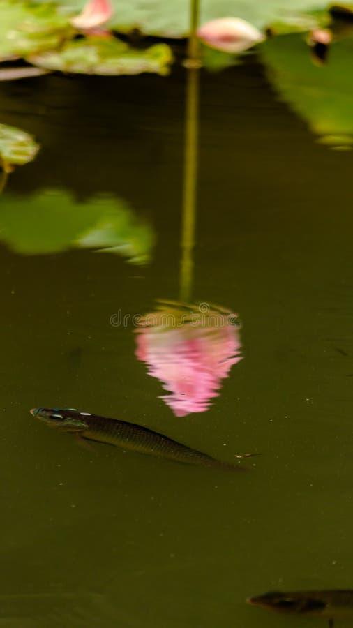 Piękny różowy lotosowy kwiat w stawie zdjęcie royalty free