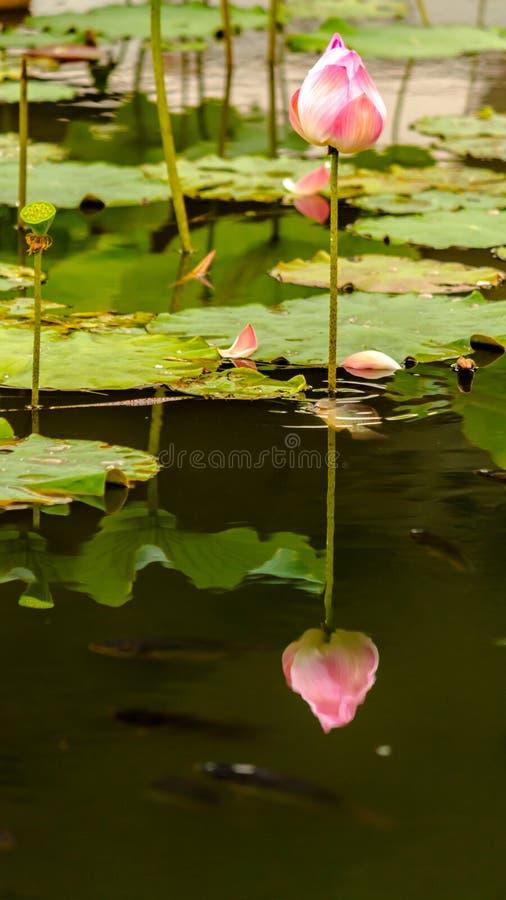 Piękny różowy lotosowy kwiat w stawie obrazy royalty free