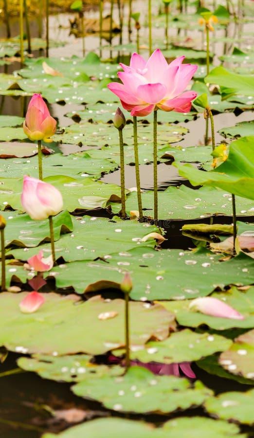 Piękny różowy lotosowy kwiat w stawie zdjęcia stock
