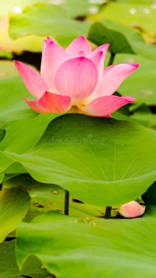 Piękny różowy lotosowy kwiat w stawie obraz royalty free