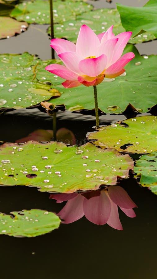 Piękny różowy lotosowy kwiat w stawie zdjęcia royalty free