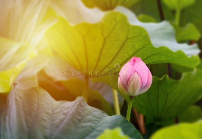 Piękny różowy lotosu pączek i zieleń lotosowi liście w stawie fotografia royalty free