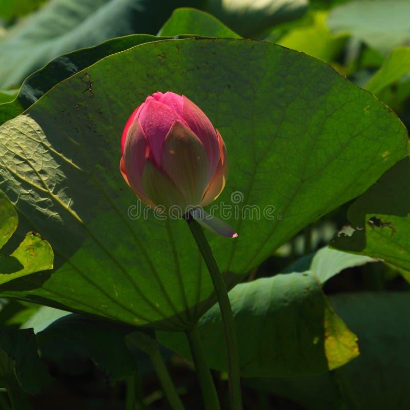 Piękny różowy lotosu pączek w naturze obrazy royalty free