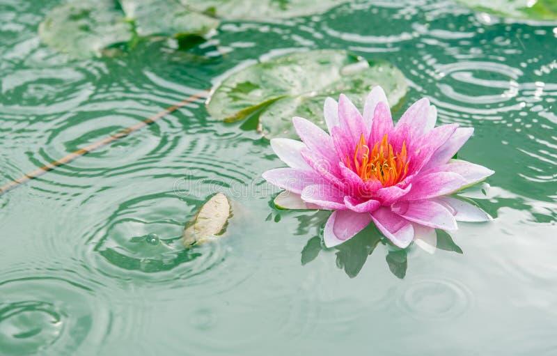 Piękny Różowy Lotus, roślina wodna z odbiciem zdjęcia royalty free
