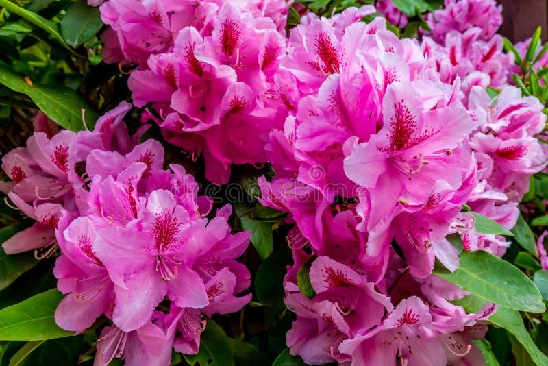 Piękny Różowy Pacyficzny różanecznik obraz royalty free