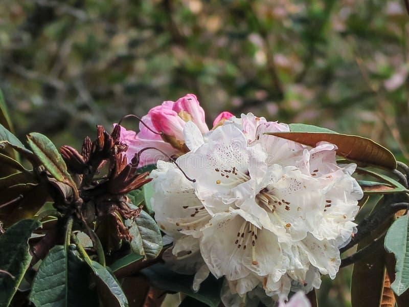 Piękny różowy Rododendronowy arboreum kwiat Rododendronowy arboreum kwiatu okwitnięcia kwitnienie na gałąź z zielonym natury tłem fotografia stock