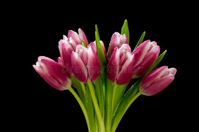 Piękny różowy tulipanowy bukiet z wodą opuszcza na nim odizolowywał na czarnym tle fotografia royalty free