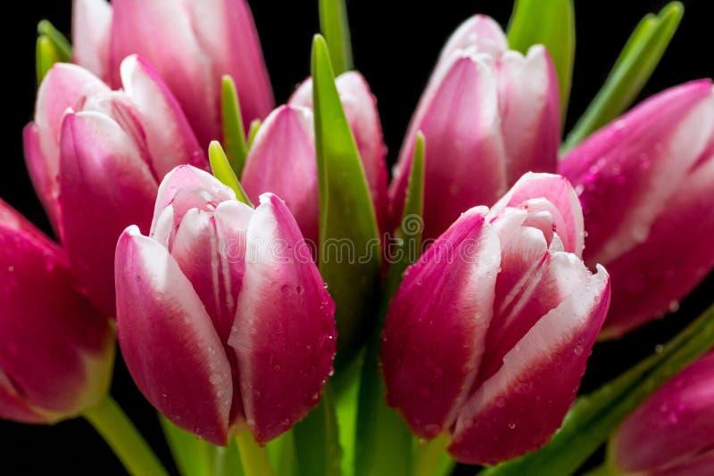 Piękny różowy tulipanowy bukiet z wodą opuszcza na nim odizolowywał na czarnym tle zdjęcia stock
