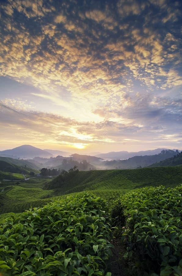 Piękny ranek, herbacianej plantaci sceneria nad wschodu słońca backgroun obraz stock
