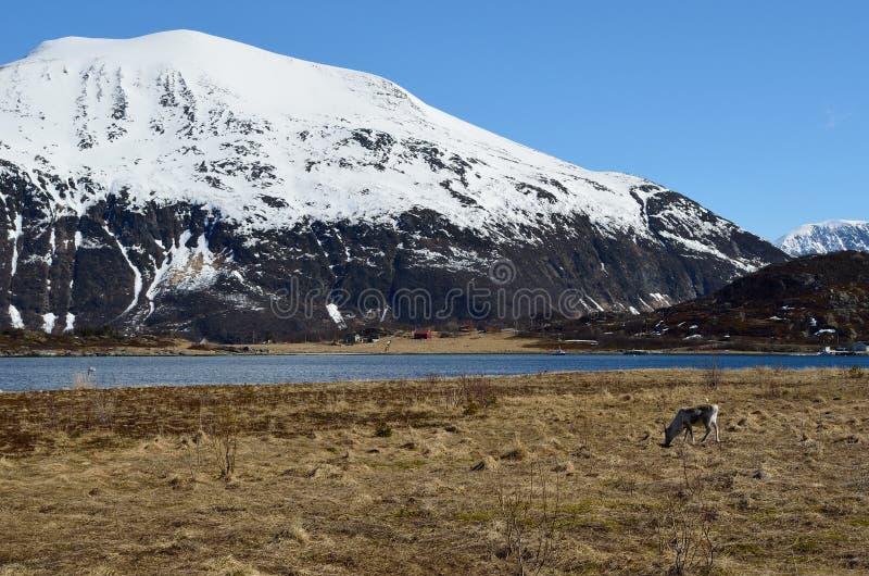 Piękny reniferowy pasanie na wiosna paśniku z możną śnieżną górą i fjord zdjęcie royalty free