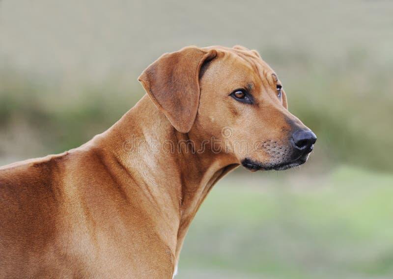 Piękny Rhodesian Ridgeback kobiety pies obrazy royalty free