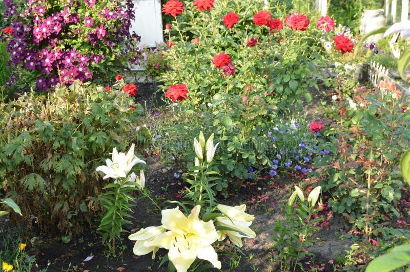 Piękny robiący manikiur kwiatu ogród z lelujami i różami obrazy royalty free