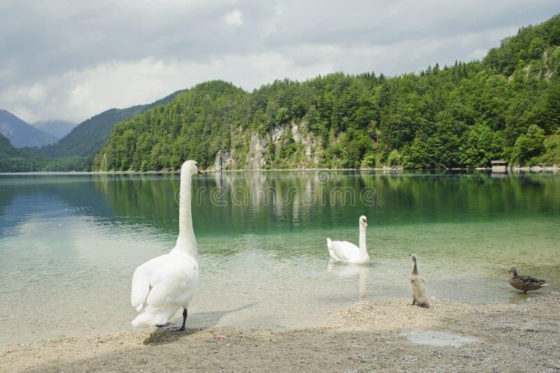 piękny rodzinny Germany jeziorny scenerii łabędź obraz royalty free