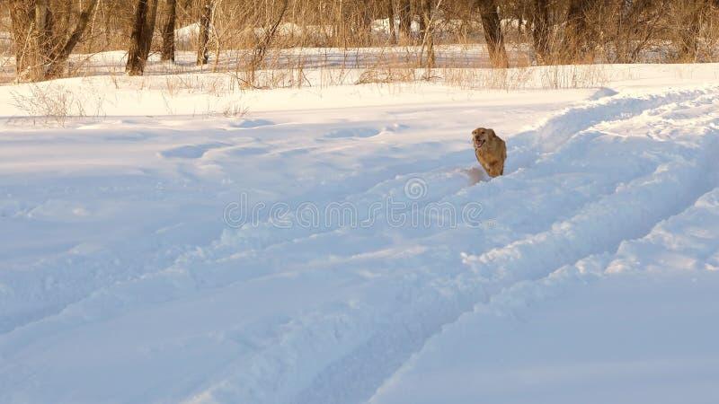 Piękny, rozochocony i miły złoty pies, biega przez białych snowdrifts w parku w zimie swobodny ruch obrazy royalty free