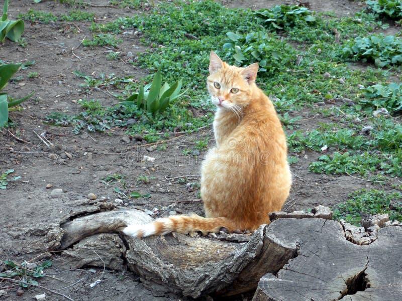 Piękny rudzielec kot siedzi obok zielonej trawy i fiszorka drewna obraz royalty free