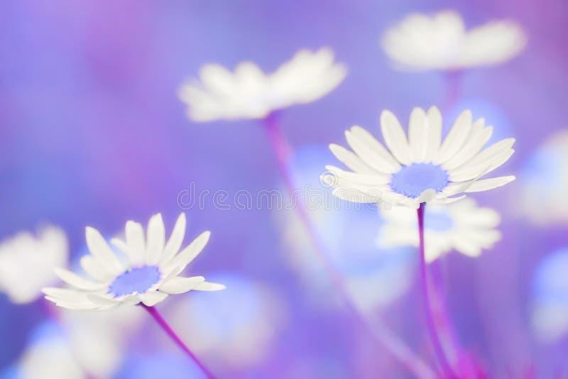 Piękny rumianku pole zdjęcie royalty free