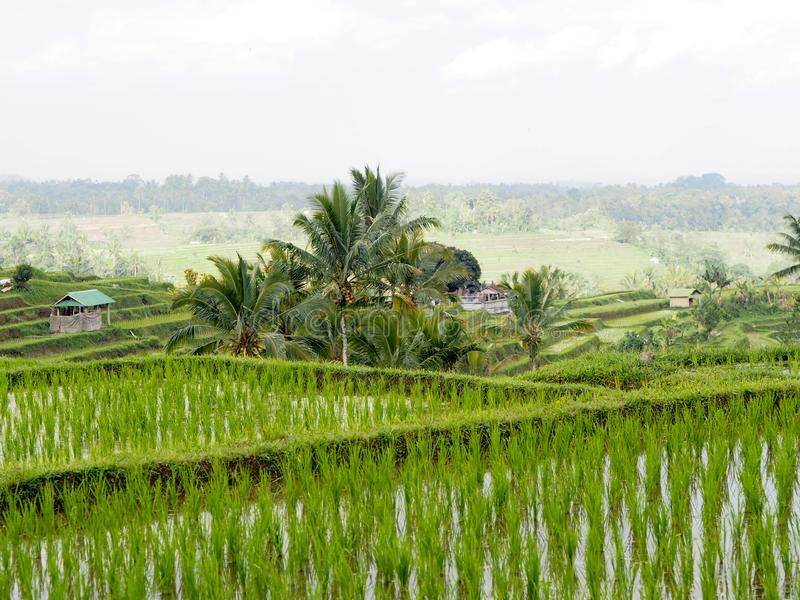 Piękny ryżu taras, mali cabanas i drzewka palmowe, obraz stock