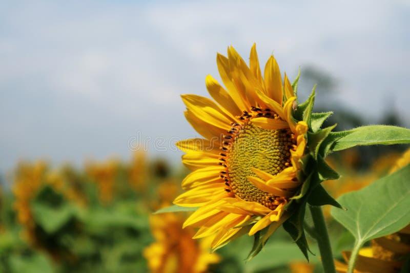 Piękny słońce kwiat w ranku obraz stock