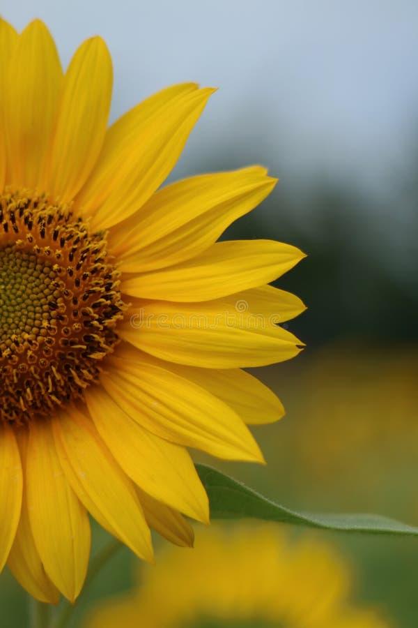 Piękny słońce kwiat w ranku obraz royalty free