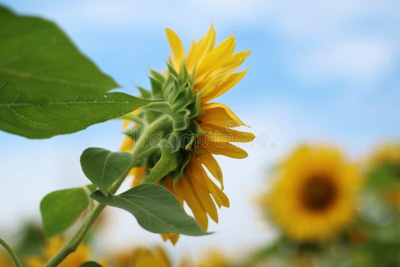 Piękny słońce kwiat w ranku fotografia royalty free