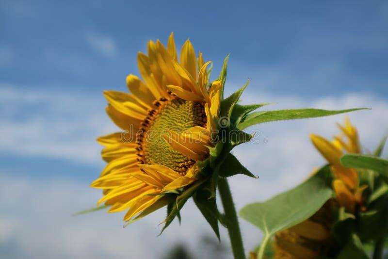 Piękny słońce kwiat w ranku zdjęcia stock