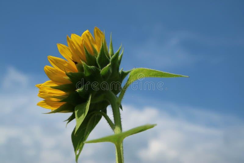 Piękny słońce kwiat w ranku fotografia stock
