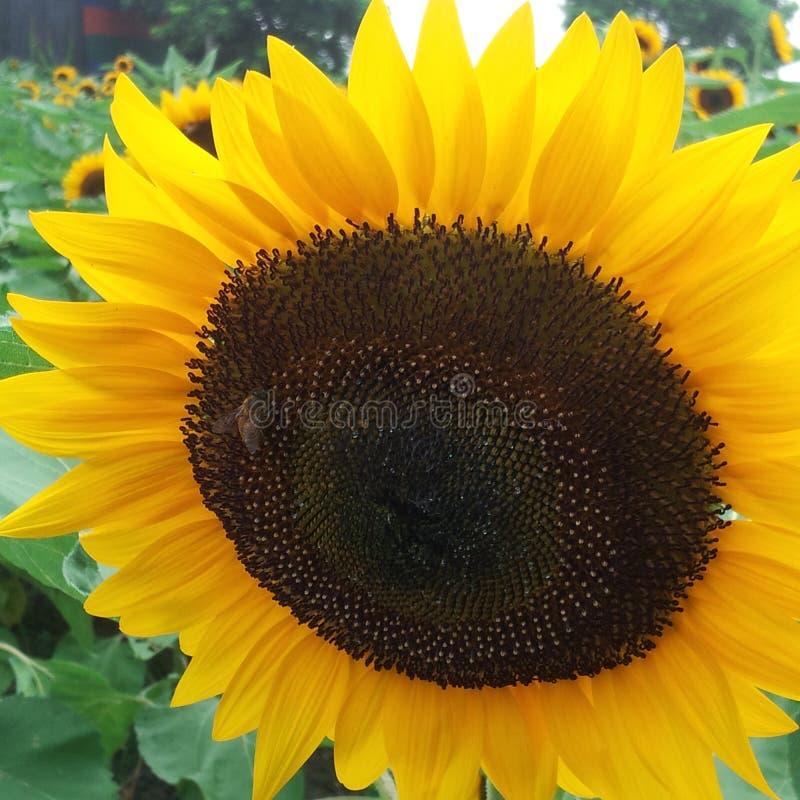 piękny słonecznik obraz stock