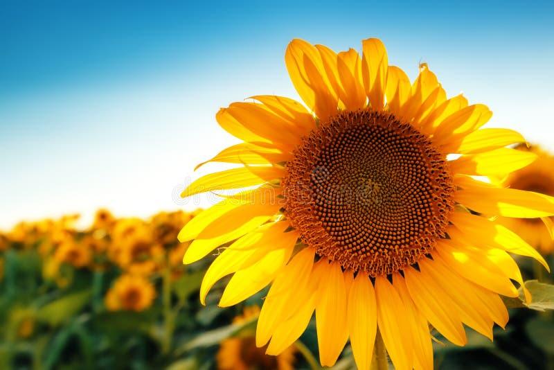 Piękny słonecznik głowy kwitnienie w kultywującym uprawy polu zdjęcie royalty free