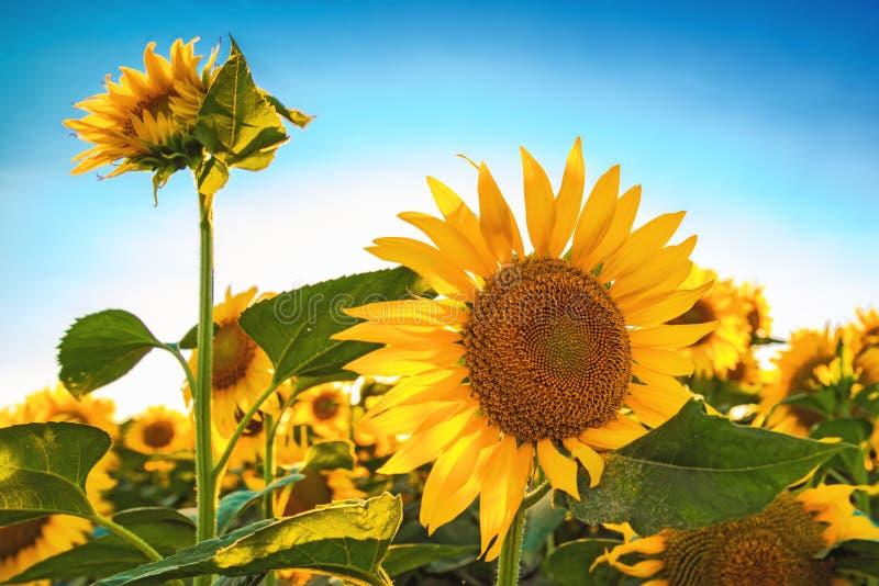 Piękny słonecznik głowy kwitnienie w kultywującym uprawy polu zdjęcia stock